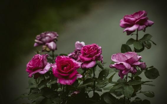 Fondos de pantalla Rosas rojas, luz oscura