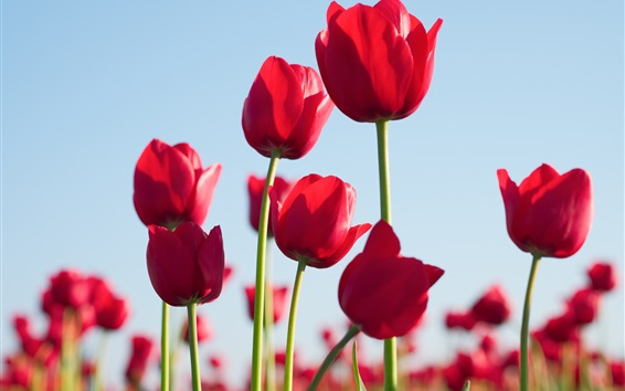 Wallpaper Red tulips, flowers, sky