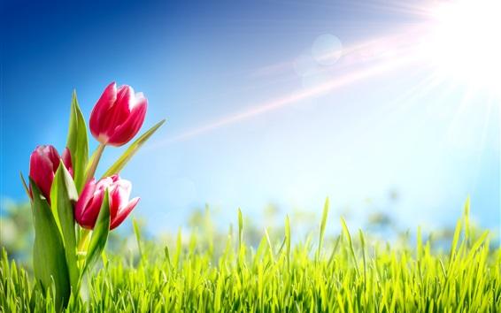 Обои Красные тюльпаны, трава, солнце