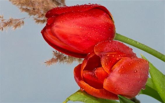 Wallpaper Red tulips, water drops, flowers