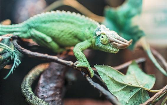 Wallpaper Reptile, chameleon, horns