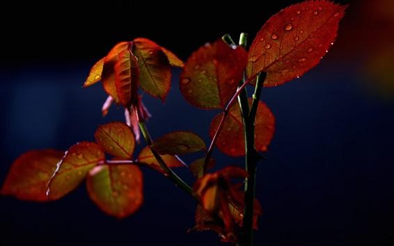 Papéis de Parede Folhas de rosa, gotas de água, fundo preto
