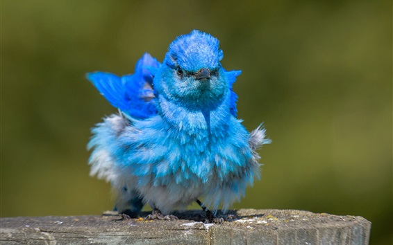 Wallpaper Ruffled feathers, blue bird