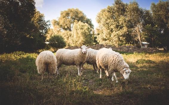 Обои Овцы, шерсть, трава, деревья