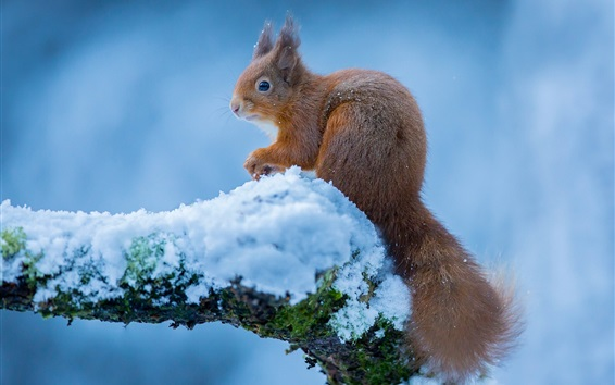 Wallpaper Squirrel in winter, snow