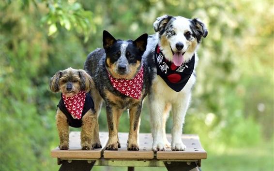 Papéis de Parede Verão, três cães, bokeh