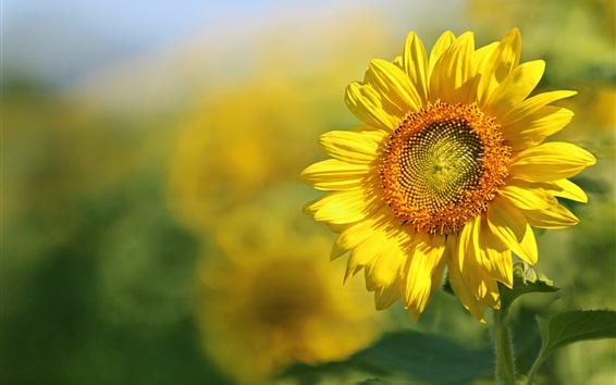 Wallpaper Sunflower, yellow petals, summer