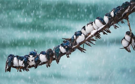 Papéis de Parede Andorinha, pássaros, ramo de árvore, neve