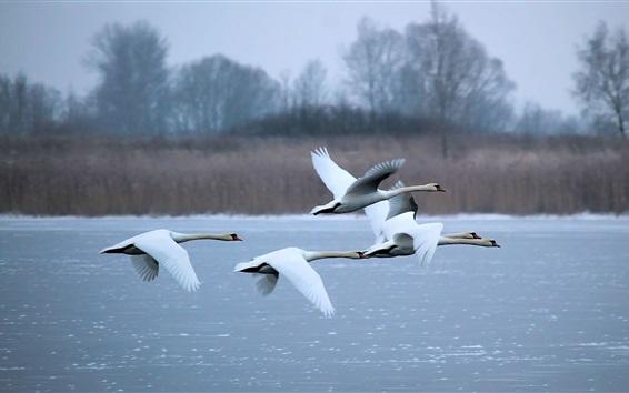 Обои Лебеди летают, река