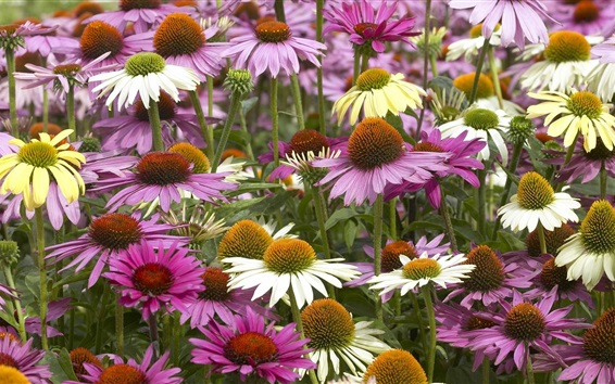 Wallpaper Three colors echinacea flowers