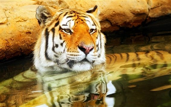 Wallpaper Tiger swimming in the water, take head up