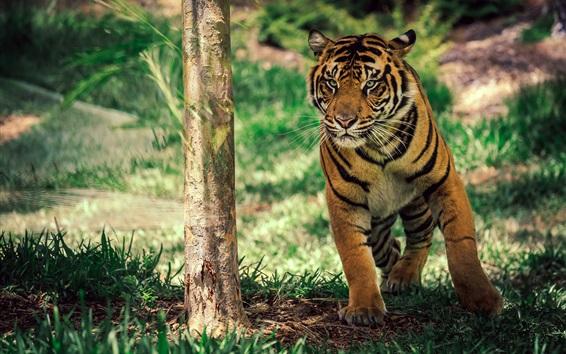 Hintergrundbilder Tiger unter Baum, Gras
