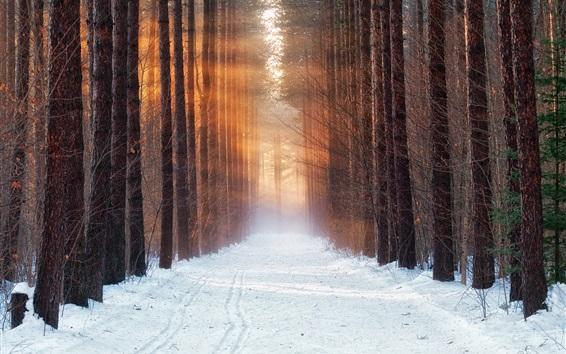 배경 화면 나무, 숲, 눈, 햇빛, 겨울