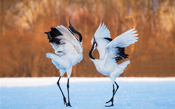 Wallpaper Two birds, cranes dance