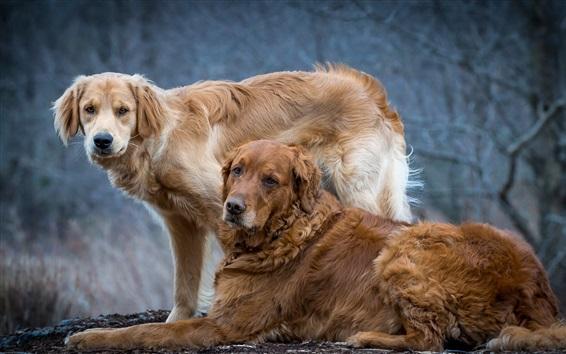 Fondos de pantalla Dos perros peludos, amigos