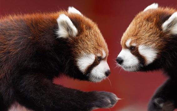 壁紙 2つの赤いパンダ、向かい合わせ