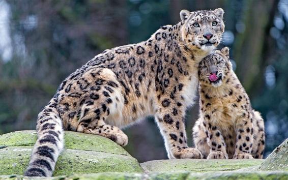 Fond d'écran Deux léopards neigeux, la faune