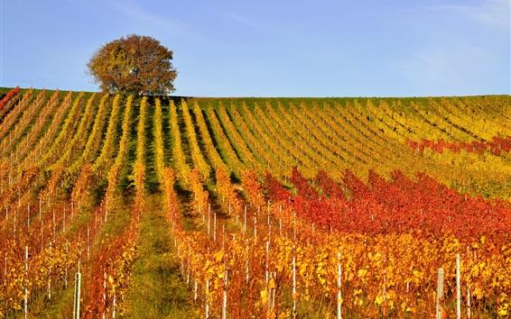 Wallpaper Vineyard, tree, hills, autumn