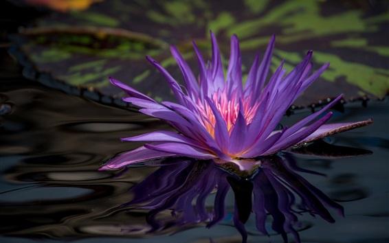 Обои Водяные лилии, фиолетовые лепестки