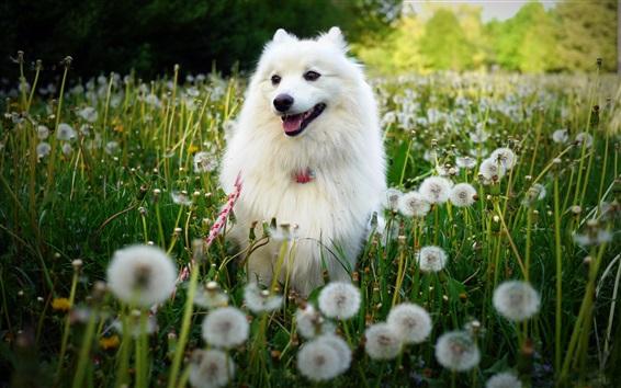 Fond d'écran Chien blanc, fleurs de pissenlit, été