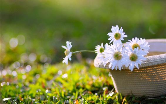 Wallpaper White flowers, chamomile, hat, grass