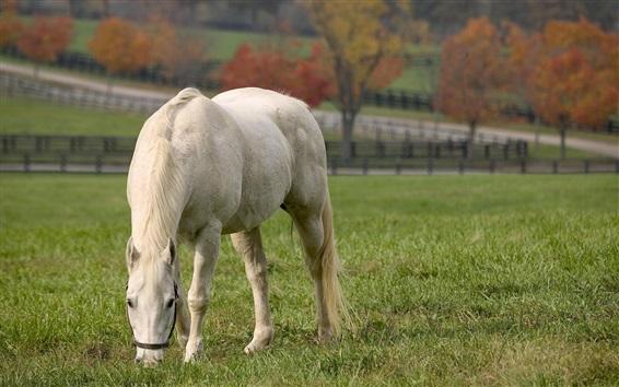 Fond d'écran Le cheval blanc mange de l'herbe