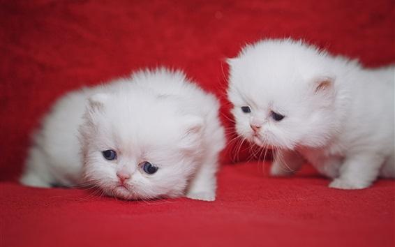 Wallpaper White kittens, cub