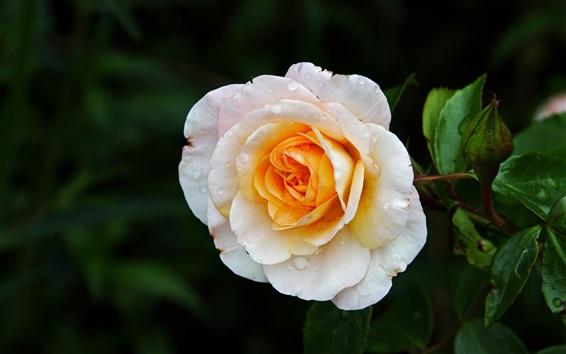 Обои Бело-желтые лепестки розового цветка, росы