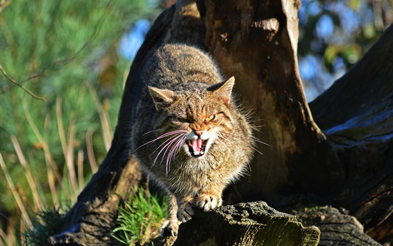 Wallpaper Wild cat angry