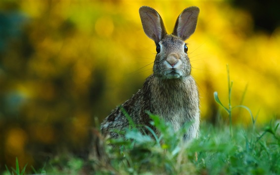 Wallpaper Wild rabbit, look, grass