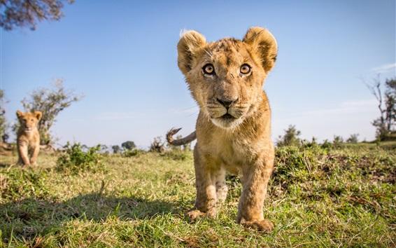 Wallpaper Wildlife, cute lion cub front view