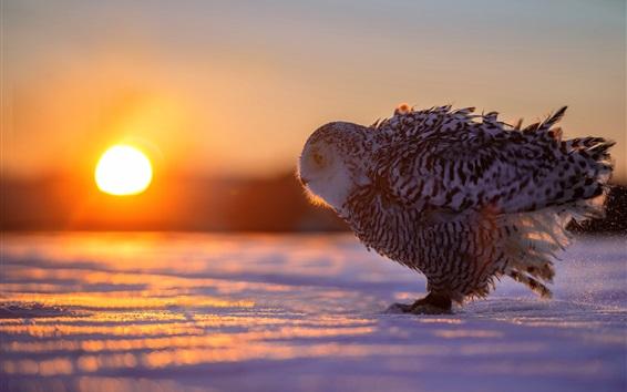 Papéis de Parede Inverno, neve, pássaro, coruja, sol