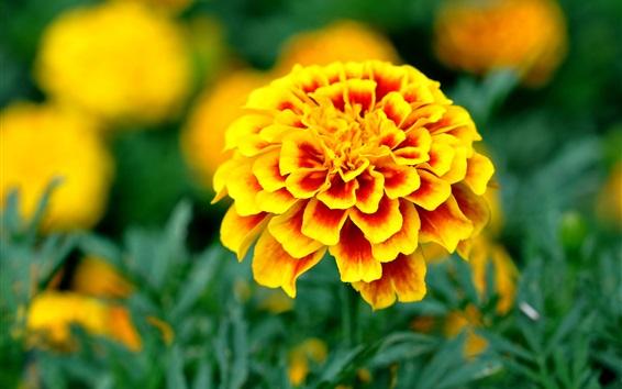 Wallpaper Yellow orange petals flowers, garden
