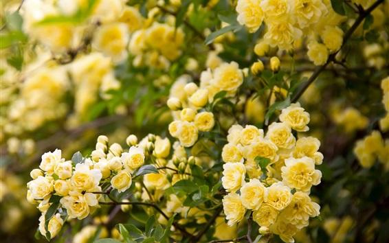 Обои Желтые розовые цветы, сад
