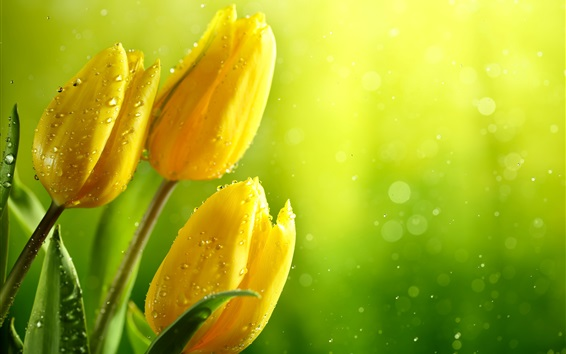 Wallpaper Yellow tulips, water drops, glare background