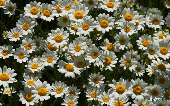 Papéis de Parede Muitas flores brancas de camomila