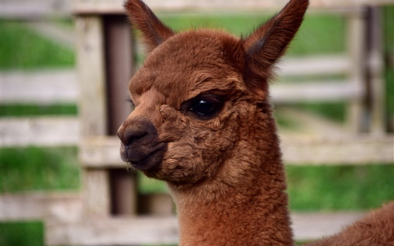 Papéis de Parede Alpaca animal, cor marrom