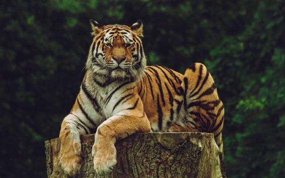 Papéis de Parede Amur tigre, predador, descanso, coto