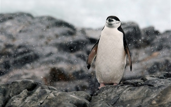 Papéis de Parede Antártica, penguin relaxing, rocks, snow
