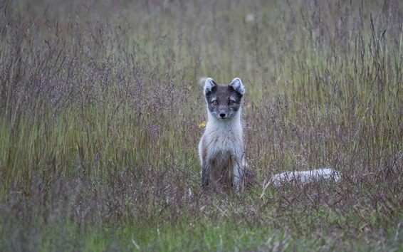 Fond d'écran Fox arctique, herbe