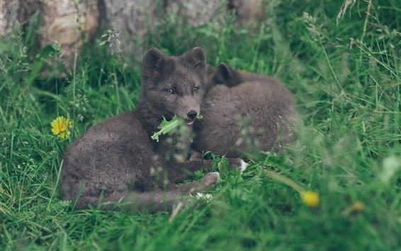 Papéis de Parede Descanso ártico da raposa na grama