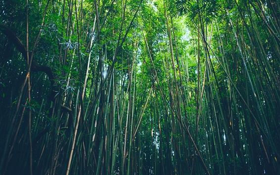 Papéis de Parede Floresta de bambu, natureza