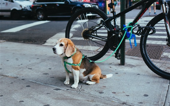 Wallpaper Beagle puppy sit on the ground, street, bicycle
