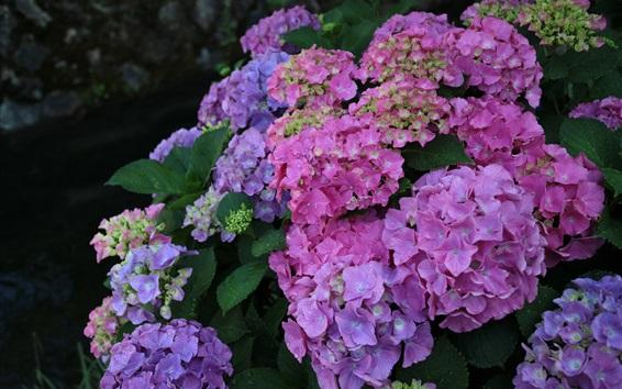Papéis de Parede Belas flores de hortênsia, inflorescência, coloridas