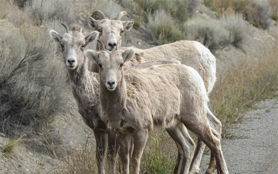 Wallpaper Bighorn sheep photography