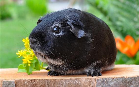Papéis de Parede Cobaia preta, animal de estimação bonito