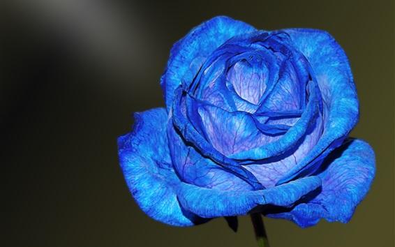 Papéis de Parede Pétalas azuis levantadas close-up