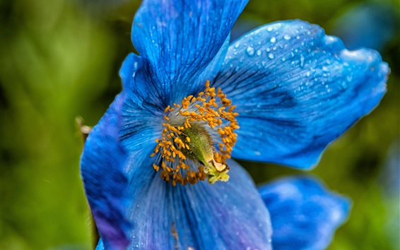 Wallpaper Blue poppy flower close-up