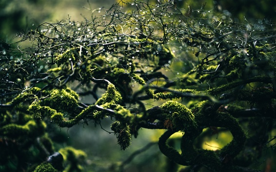 Wallpaper Branches, moss, water drops