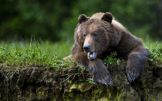 Papéis de Parede Urso marrom, boca, pata